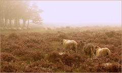 On a Misty Morning! Sheep are going their Way...