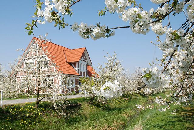 Kirschblüte bei Jork im Alten Land (2xPiP)