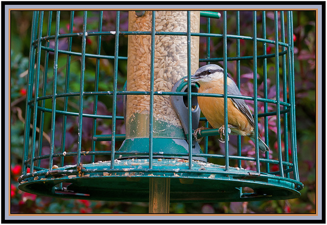 Nuthatch behind bars