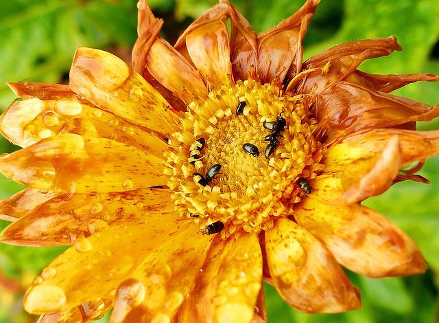 Feasting pollen beetles