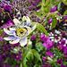 Passiflora edulis, Maracujá, Eden Garden, Cascais