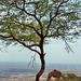 Oman :  Ṣalāla - sulle colline i dromedari trovano cibo e un poco di ombra sotto l'unico albero