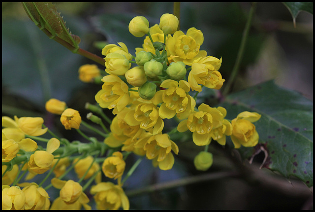 Mahonia aquifolium (2)