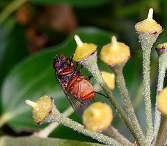 Strange Autumnal Fly 2