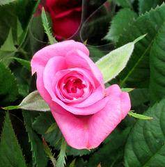 Une rose toute simple / A simple rose