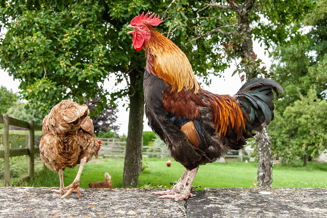 Crowing Cock
