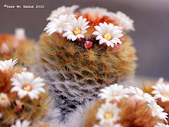 Cacti flowers ( Mammillaria aureilanata)179 copy - Copy