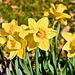 Jonquille (Narcissus jonquilla)