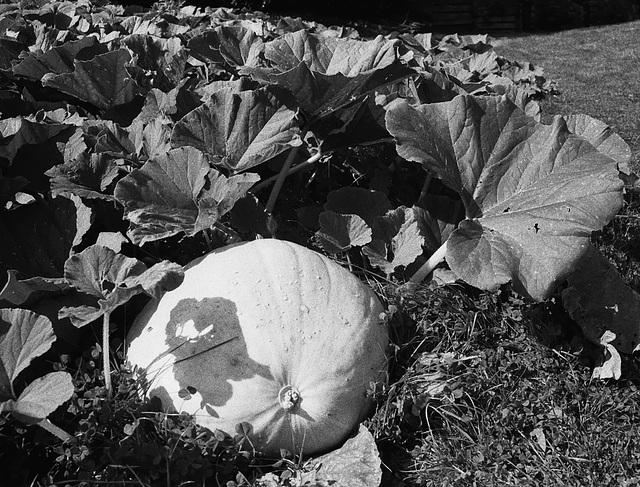 Pumpkin at Wightwick Manor 2