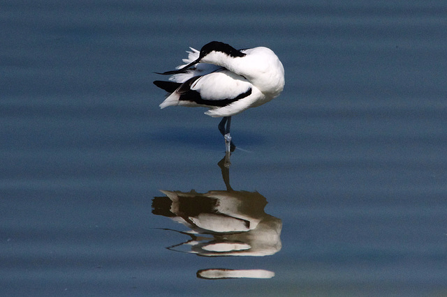 Avocet  /  May 2013