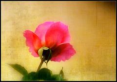 rose texturée