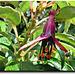 Tree Fuchsia