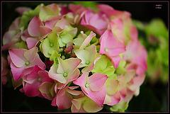 ~ Pink Hortensia ~