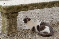 Le chat de la Chartreuse n'est pas un chartreux