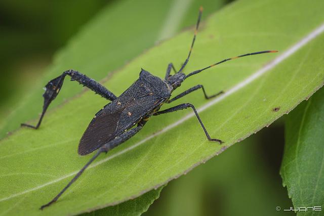 Leptoglossus gonagra.