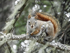 Day 6, Red Squirrel, Tadoussac