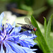 Cornflower and Fly