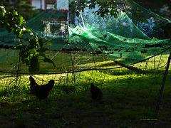ein Zaun für Hühner