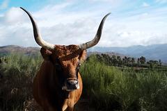 Serra da Peneda, Vaca barrosã