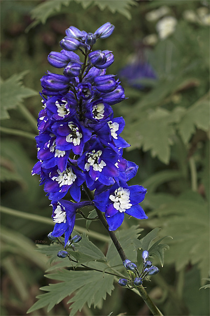 Blue with White - Delphinium