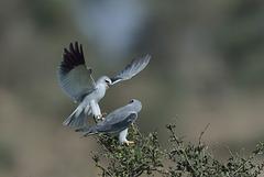 Elanion blanc