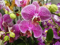 Orchidée colorée