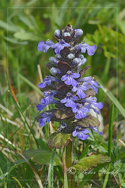 Közönséges ínfű (Prunella vulgaris)