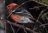Perce pine grosbeak MONT ST ANNESDSC 5495 x