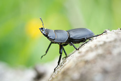 Welcome to my world - Stag Beetle
