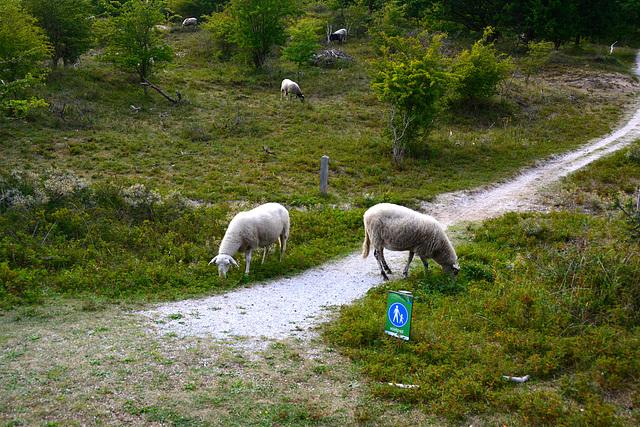 Sheep on the footpath