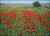 Poppy field, Algete, Madrid Province