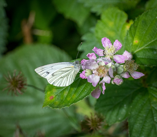 Green veined white butterfly5