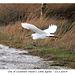 Little Egret - Cuckmere - 21 1 2014