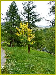 Bardonecchia : l'albero giallo - (845)