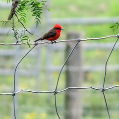 Day 5, Vermilion Flycatcher / Pyrocephalus rubinus, King Ranch, Norias Division, South Texas