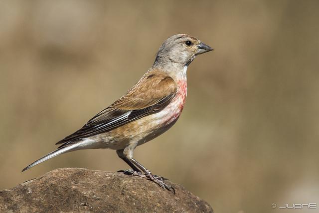 Pardillo comun - Carduelis cannabina. (♂)
