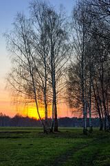 Birch trees at spring evening