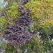 Chondrostereum purpureum (Violetter Schichtpilz) (01)
