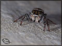 3/366: Darling Jumping Spider