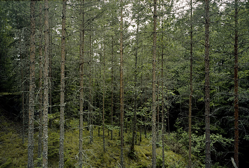 schwedisches walddickicht bei husgölen -wald-25-07-17-0001-co-29-08-17