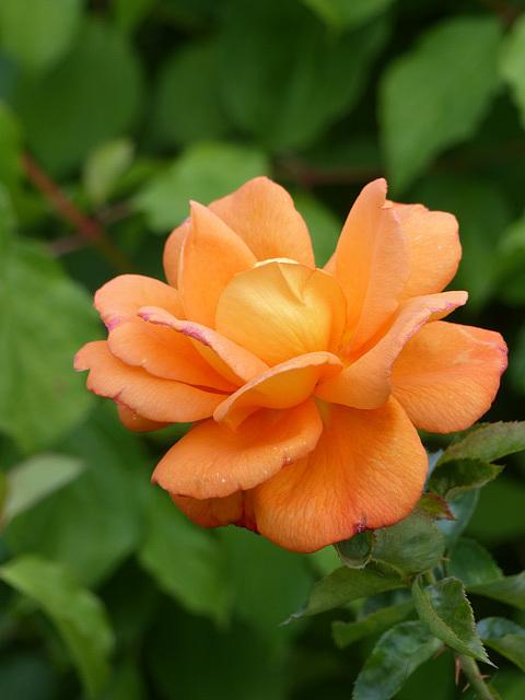 Rose (1) - 20 August 2016