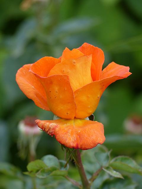 Rose (2) - 20 August 2016