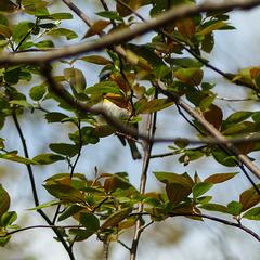 Day 3, Northern Parula / Setophaga americana, Pt Pelee, Ontario