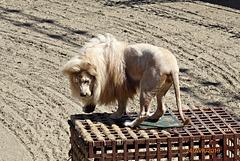 superbe lion blanc