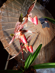 Asiatischer Orchideenflair