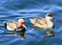Entenpaar auf dem Bodensee