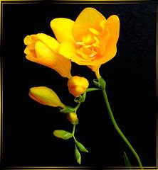 Gelbe Freesie. ©UdoSm