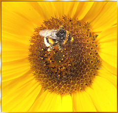 Sunflower with Bumblebee. ©UdoSm