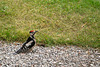 Young woodpecker, wondering what to peck at ground level!