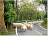 Give way to the sheeps!